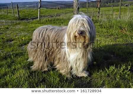 Foto stock: Barbudo · cão · em · pé · olhando · câmera · isolado