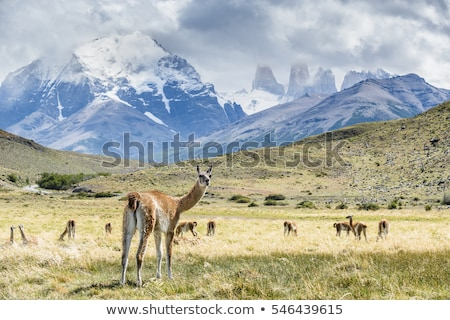 Wild guanaco Stock photo © antonprado