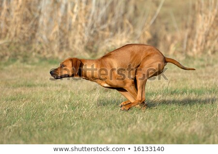 Speddy rhodesian ridgeback Stock photo © Elenarts