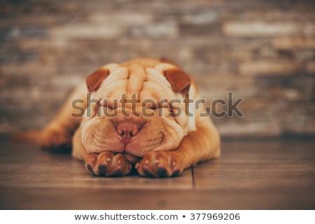 belo · cachorro · adormecido · isolado · branco · cópia · espaço - foto stock © mikko