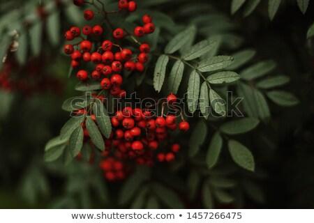 rowan in autumn with red berries stock photo © anterovium