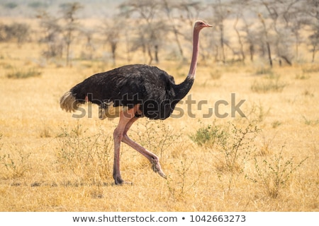 Ostrich in the wild stock photo © 3pphoto31