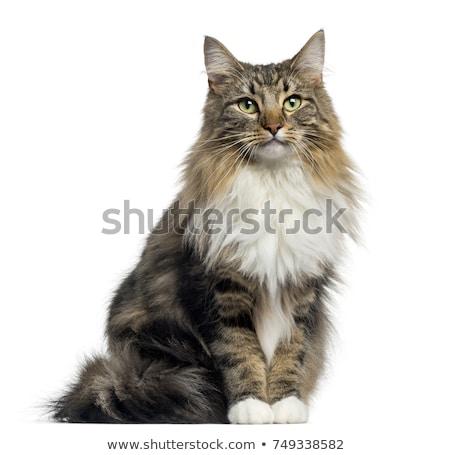 Fajtiszta norvég erdő macska lövés házimacska Stock fotó © bigandt