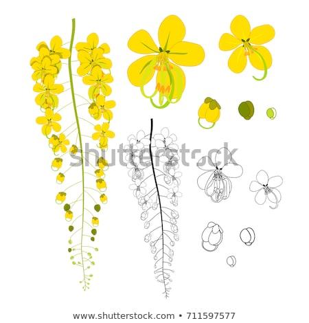 Golden shower or Cassia fistula flower vintage Stock photo © sweetcrisis