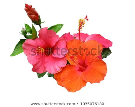 Shoe Flower or Hibiscus Stock photo © sweetcrisis