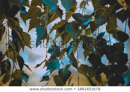 naturalismo · fresco · primavera · galho · bétula · foco - foto stock © Moravska