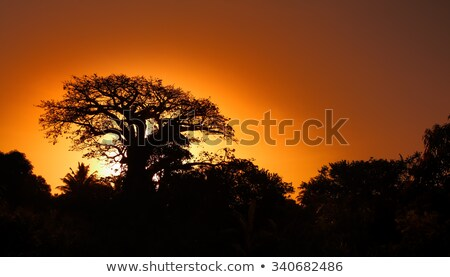 baobab silhouette at sunset stock photo © adrenalina