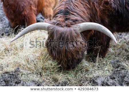 Byka długo wełny jedzenie siano Zdjęcia stock © OleksandrO