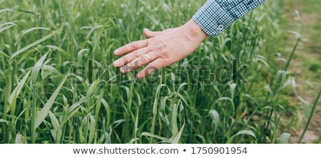 Wheat crop protection and responsible cereal grains farming Stock photo © stevanovicigor