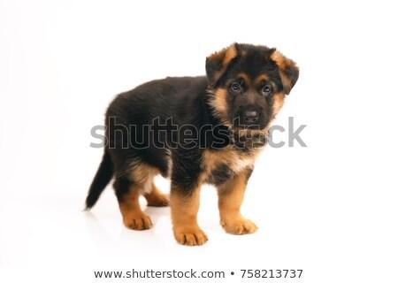 german shepherd dog relaxing in a black studio stock photo © vauvau