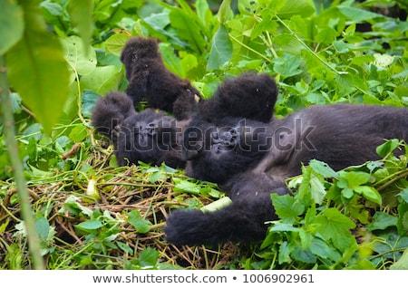 alszik · hegy · gorilla · park · demokratikus · köztársaság - stock fotó © simoneeman
