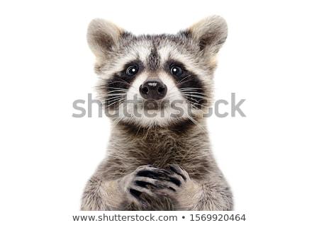 Cute wasbeer blij gezicht illustratie glimlach gelukkig Stockfoto © bluering