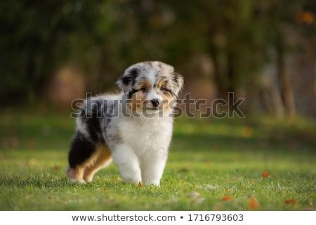 Ausztrál juhász kutya fehér virág fekete Stock fotó © cynoclub