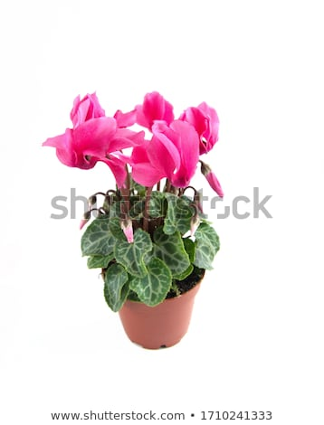 cyclamens background stock photo © simply