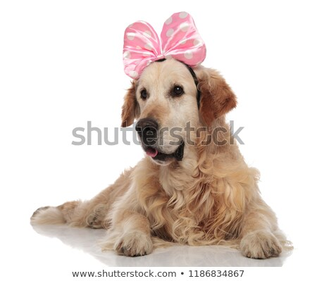 curious golden retriever wearing a pink ribbon headband lying Stock photo © feedough