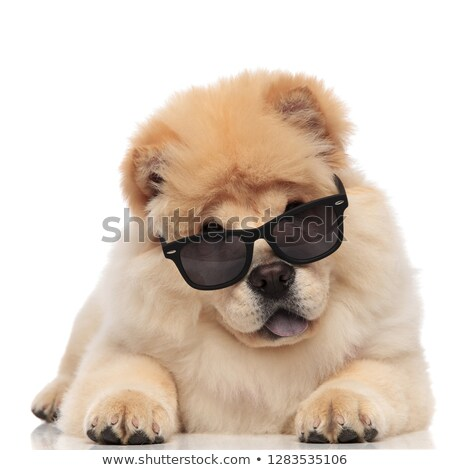 cute chow chow wearing sunglasses pants and rests Stock photo © feedough