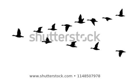 набор белый гусей иллюстрация ходьбе Сток-фото © bluering