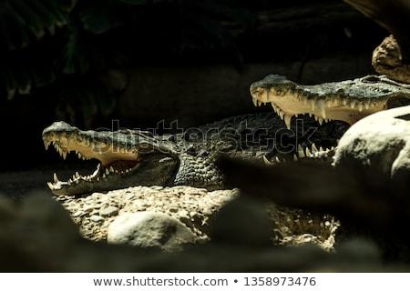 Kettő krokodilok hazugságok folyó állatkert víz Stock fotó © galitskaya