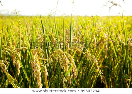 Cereal rice fields with ripe spikes in Valencia Stock photo © lunamarina