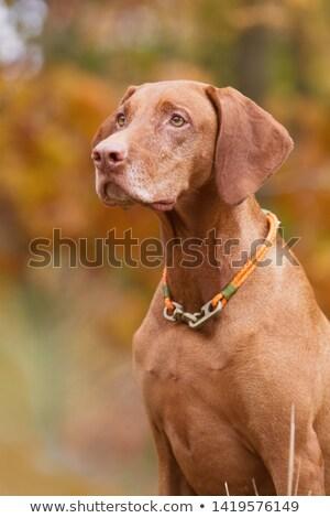犬 座って 紅葉 森林 地上 カバー ストックフォト © brianguest