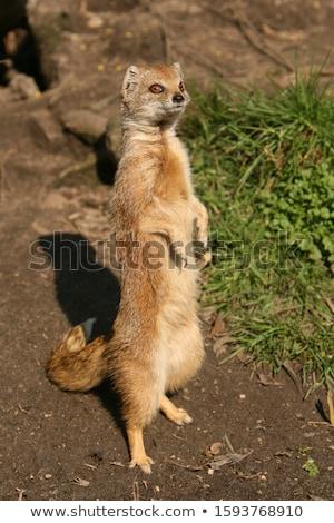 cute yellow mongoose  Stock photo © lightpoet