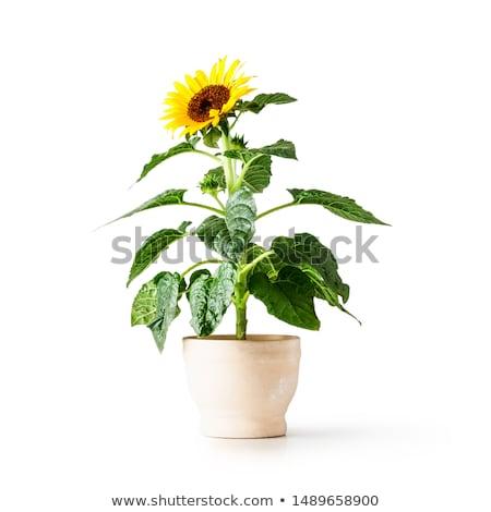 girasole · petali · isolato · bianco · top · view - foto d'archivio © photocreo