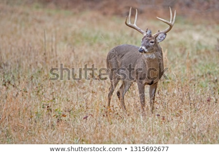 Whitetail Deer Button Buck (Odocoileus virginianus) Stock photo © brm1949