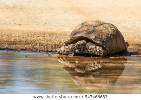 Teknősbéka víz virág zöld kő fej Stock fotó © kawing921