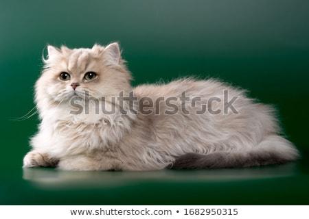Stock fotó: Fiatal · macska · fehér · stúdió · kiscica · díszállat