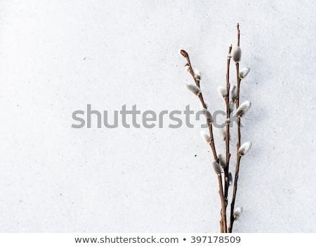 willow branches with buds stock photo © ruslanomega
