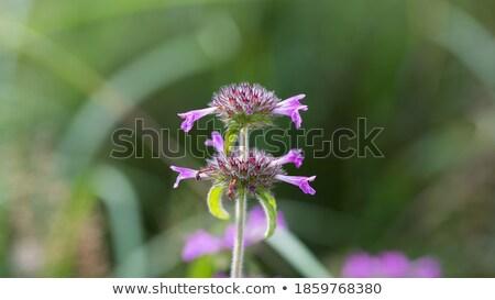 Basilic 16 fleur printemps fond Photo stock © LianeM