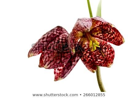 Checkered Lily – Snake's head Stock photo © haraldmuc