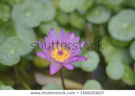 White Water Lilly  Beijing China Stock photo © billperry