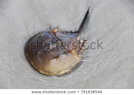 atlantic horseshoe crab limulus polyphemus Stock photo © lunamarina