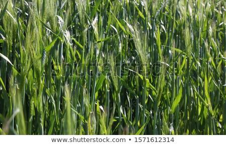 Barley field (Hordeum vulgare) in warm light Stock photo © haraldmuc