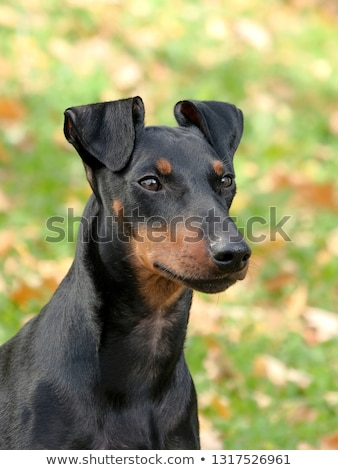 manchester terrier on a green grass lawn stock photo © capturelight