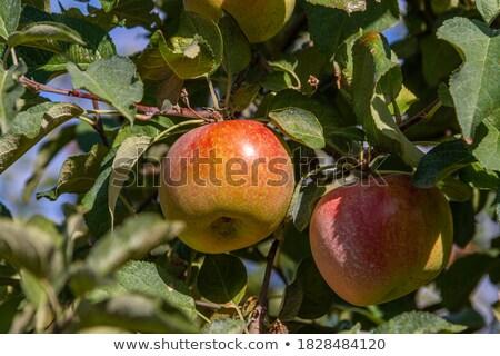четыре · зрелый · зеленый · яблоки · изолированный · белый - Сток-фото © photooiasson