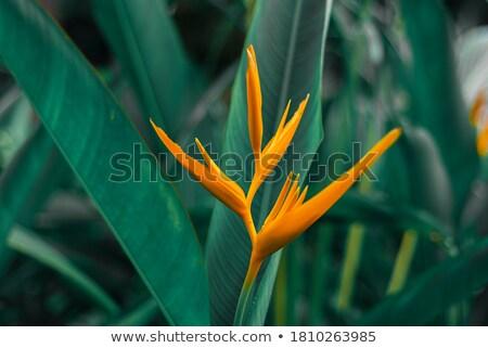 heliconia caribea stock photo © franky242