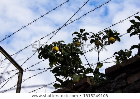 Forbidden fruits behind barbed wire Stock photo © Mps197