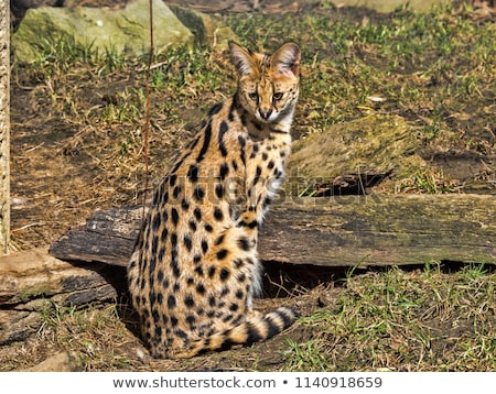 землю ЮАР кошки рот животного Сток-фото © dirkr