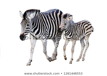 Zebra Foal Stock photo © JFJacobsz