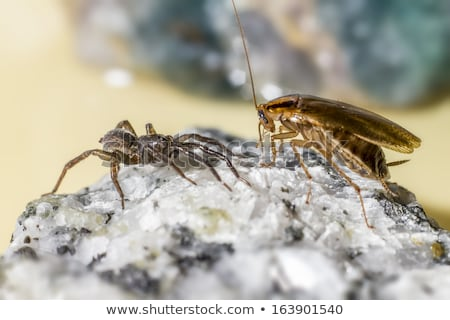 The german cockroach and ground wolf-spider Stock photo © t3rmiit