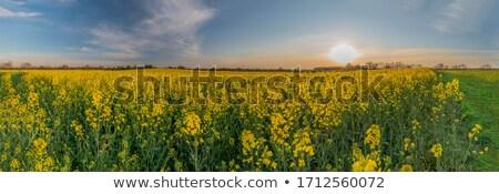 Stock fotó: Arany · mező · kék · ég · kilátás · virág · fa