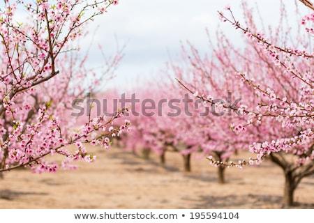 Fioritura mandorla albero bianco rosa fiori Foto d'archivio © vapi