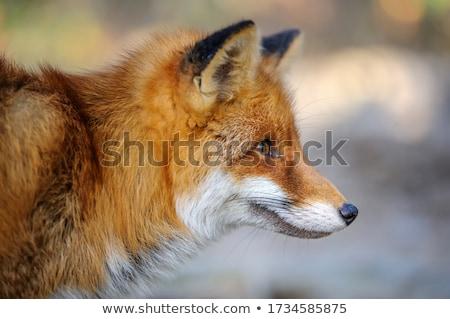 Red fox on dark background Stock photo © byrdyak