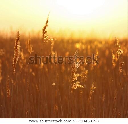Reedbed at sunset Stock photo © naumoid