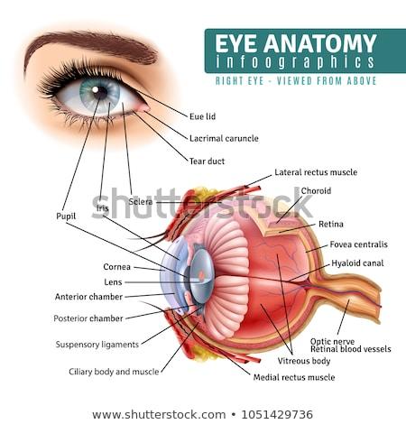 emberi · szem · anatómia · részletes · illusztráció · izolált - stock fotó © Tefi