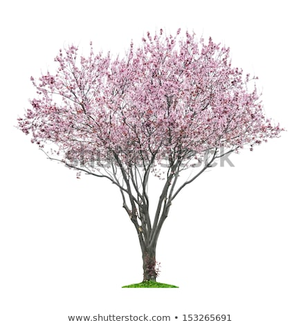 Isolated blooming cherry tree on a white background Stock photo © Zerbor