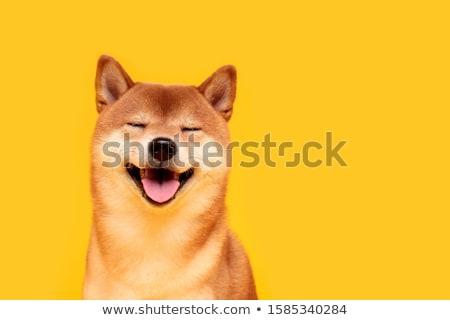 jonge · hond · dier · japans · puppy · mannelijke - stockfoto © cynoclub