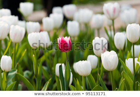 one red tulip in white field Stock photo © compuinfoto